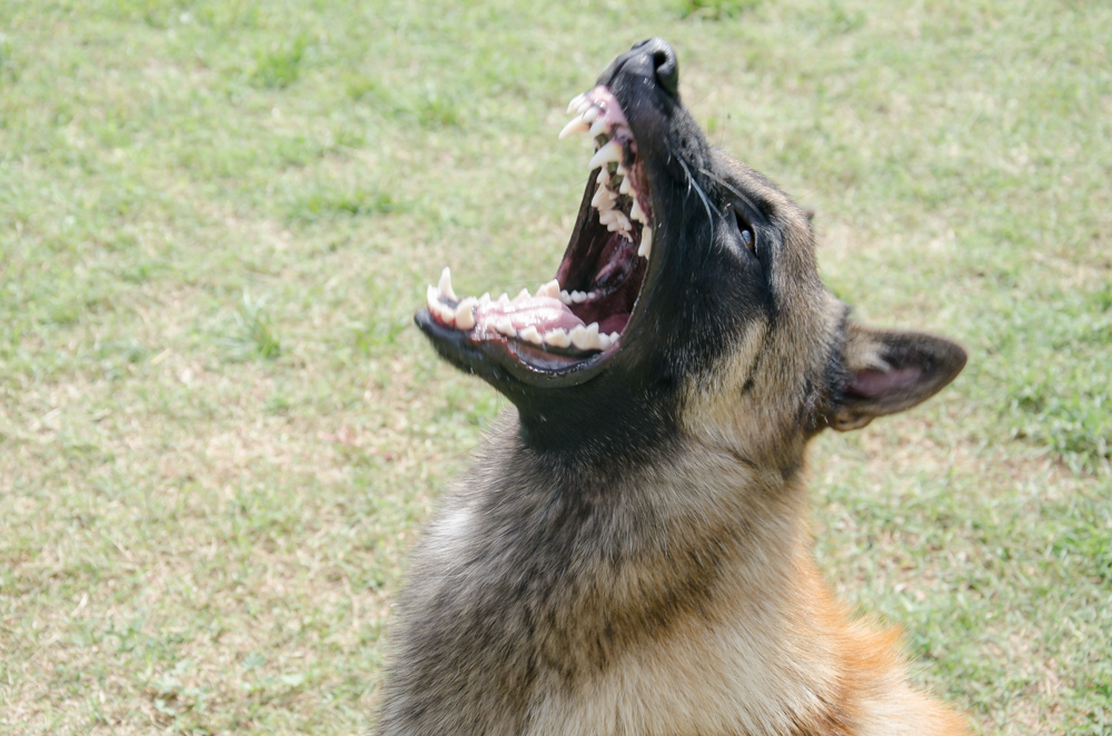 dracan-centre-cani-malinois-1